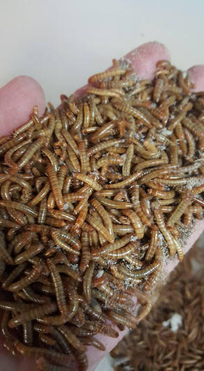( 1000 COUNT ) MEAL WORMS