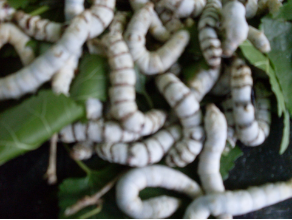 SILK WORMS ( 50 COUNT  asst. sizes)