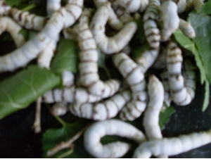 25 CT Silk Worms   CURRENTLY SOLD OUT