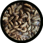 100-(Large) black soldier fly larva