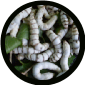 25 CT Silk Worms    SMALL  SIZES