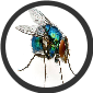 BLUE BOTTLE FLY PUPIA